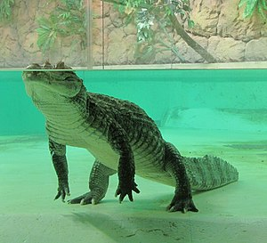 Crocodilia - Crocodilians, like this spectacled caiman, can hide in water with only their nostrils, eyes and ears at the surface.