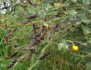 Pigeon pea - Pigeon pea is a perennial which can grow into a small tree.