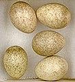 Calandrella brachydactyla MHNT.jpg