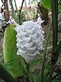 Calathea burle-marxii 'Ice Blue'1.jpg