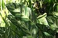 Calathea louisae 9zz.jpg