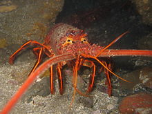 A red, clawless lobster facing towards the viewer, with long, stout antennae pointed forwards, and short horns above the short-stalked eyes.