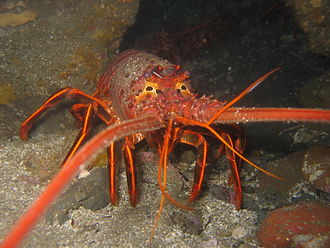 Spiny lobster - Panulirus interruptus