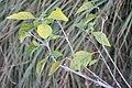 Callicarpa americana 43zz.jpg