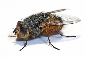 Lesser brown blowfly