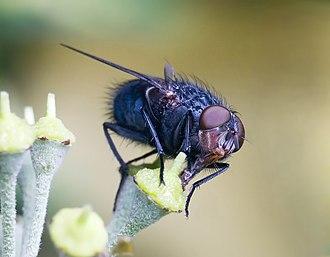 Blue bottle fly - Image: Calliphora vomitoria edit