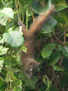 Inornate squirrel