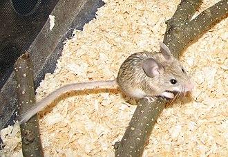 Mouse-like hamster - Image: Calo 10