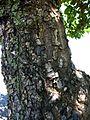 Calophyllum inophyllum (5737393471).jpg