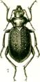 Calosoma denticolle 2.png
