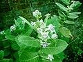 Calotropis gigantea flower.JPG