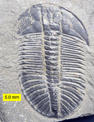 Endless Forms Most Beautiful (book) - The body of a trilobite  is made of many similar modules (body segments with pairs of appendages). These could be made by repeated use of the same toolkit genes.