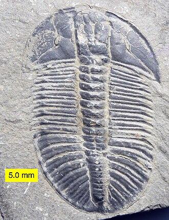 Samuel Wendell Williston - Image: Cambrian Trilobite Olenoides Mt. Stephen