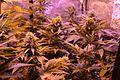 Cannabis DSC 0183 (26140988835).jpg