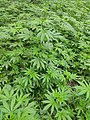 Cannabis plant (Bhang in Indian languages) 5.jpg