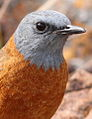 Cape Rock Thrush, Monticola rupestris at Marakele National Park, South Africa (14122730285).jpg