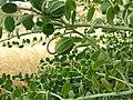 Caper bush - Capparis spinosa var nummularia IMG 5076.jpg