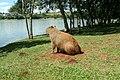 Capivara no Lago Cascavel (PR).jpg