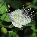 Capparis spinosa-IMG 3466.jpg