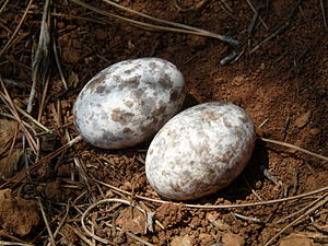 European nightjar - A clutch of two eggs on the ground in Turkey