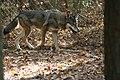 Captive Female at Sandy Ridge (6260450559).jpg