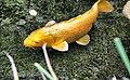 Carassius auratus (5407057060).jpg