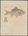 Carassius auratus - 1833-1850 - Print - Iconographia Zoologica - Special Collections University of Amsterdam - UBA01 IZ15000048.tif