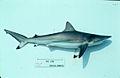 Carcharhinus brevipinna nefsc.jpg