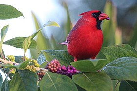 Cardinal with raspberries.jpg