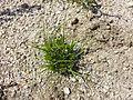 Carex bohemica sl14.jpg