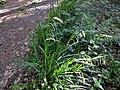 Carex pendula plant (10).jpg