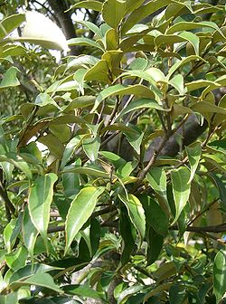 meaning of castanopsis