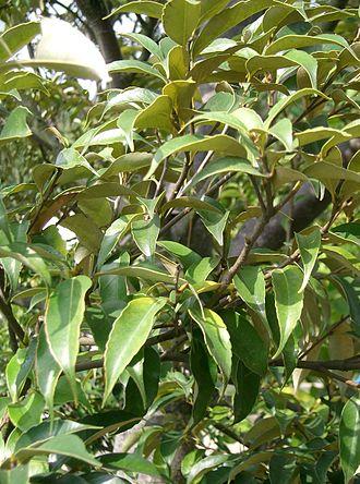 Castanopsis - Castanopsis sieboldii leaves