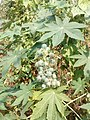 Casterplant 03.jpg