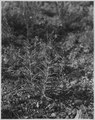 Castilligia (Indian Paint Brush). - NARA - 520328.tif