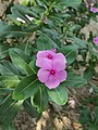 Catharanthus roseus, commonly known as bright eyes, Cape periwinkle, graveyard plant, Madagascar periwinkle, old maid, pink periwinkle, rose periwinkle.jpg