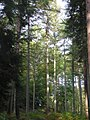 Cathedral of larch below the church - Sept 2011 - panoramio.jpg