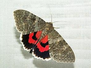 Rotes Ordensband (Catocalina nupta)