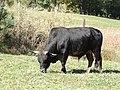 Cattle breed AJTJ DSCN3267.jpg