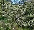 Ceanothus papillosus 1.jpg