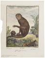 Cebus capucinus - 1700-1880 - Print - Iconographia Zoologica - Special Collections University of Amsterdam - UBA01 IZ20200158.tif