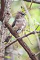 Cedar Waxwing (10708798326).jpg