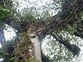 Ceiba Árbol de la Paz 3.jpg