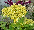 Celosia argentea cristata01 ies.jpg