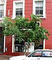 Celtis africana - Cape Town street 999.JPG
