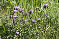 Centaurea.jacea2.-.lindsey.jpg