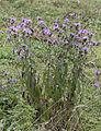 Centaurea sp. 04.jpg