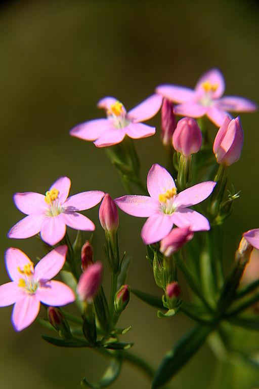Centaurium pulchellum flowers and buds Hompelvoet RF