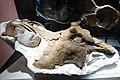 Centrosaurus apertus skull Royal Tyrrell 1.jpg