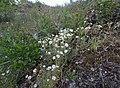 Cerastium zhiguliense.jpg
